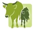 Rinderzucht- und Haltung